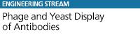 Phage and Yeast Display of Antibodies